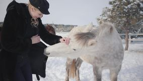 Young smiling woman petting muzzle of adorable white thoroughbred horse in winter ranch. urious animal trying to chew a