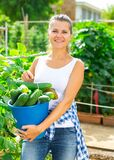 Smiling woman picking harvest of fresh cucumbers in sunny garden
