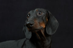 Young smooth black and tan dachshund Stock Photography