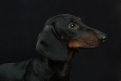 Young smooth black and tan dachshund Royalty Free Stock Photo