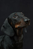 Young smooth black and tan dachshund. Portrait of young smooth black and tan dachshund on black background stock photo