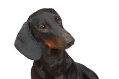 Young smooth black and tan dachshund Stock Photos