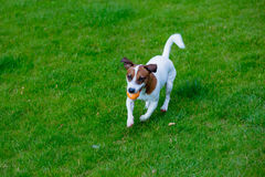 Young smooth-coated Jack Russell Terrier dog stock photos