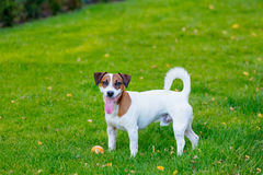 Young smooth-coated Jack Russell Terrier dog Royalty Free Stock Image