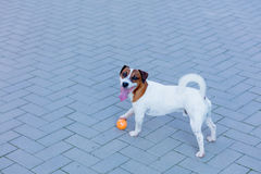Young smooth-coated Jack Russell Terrier dog stock photo