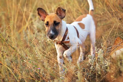 Young smooth fox terrier dog in the field Royalty Free Stock Images