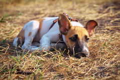 Young smooth fox terrier. Lying on the grass Royalty Free Stock Photos