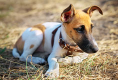 Young smooth fox terrier. Lying on the grass Stock Photos