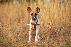 Young smooth fox terrier Stock Image