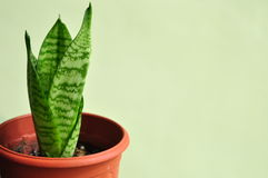 Young Snake Plant Royalty Free Stock Photos