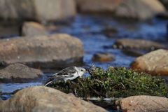 Young snow bunting Plectrophenax nivalis perching on a willow over water foraging for food Royalty Free Stock Images