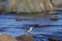 Young snow bunting Plectrophenax nivalis sitting on a rock Royalty Free Stock Photos