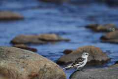 Young snow bunting Plectrophenax nivalis sitting on a rock Stock Photos