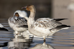 Young snow geese Stock Photos