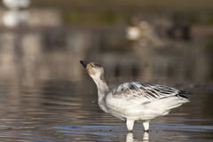 Young snow geese Royalty Free Stock Photo