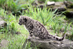 Young Snow Leopard. On top of a rock royalty free stock photography