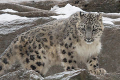 Young Snow Leopard Royalty Free Stock Photo