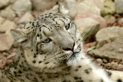 Young Snow Leopard Stock Image