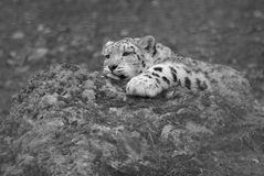 A young snow leopard resting Royalty Free Stock Photo