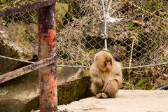 Young snow monkey quietly sitting on path edge Royalty Free Stock Photos