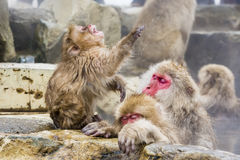 Young Snow Monkey Temper Tantrum. As the red-faced mom and an older sibling ignore the youngster and try to enjoy relaxation with eyes closed in the hot springs royalty free stock image