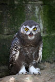Young snow owl Stock Photography