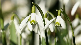 Young Snowdrops Swaying in the Wind stock footage