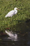 Young Snowy Egret Reflection. An immature snowy egret is reflected on the rippling surface of a Florida pond Royalty Free Stock Photo