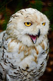 Young snowy owl is angry Stock Photo