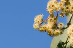 Young Soap mallee Eucalyptus diversifolia flowers on a blue sky background, California royalty free stock photography