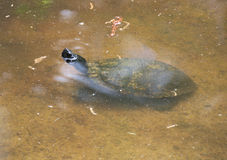 Young Soft-shelled Turtle Stock Images