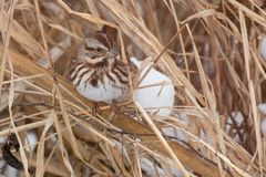 Song Sparrow. Young Song Sparrow perched in the dead winter grass stock photos