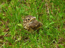Young song thrush chick Stock Photography