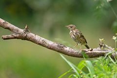 Young song thrush sitting on a branch. In the forest, Netherlands Stock Photo