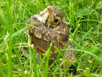 Young song thrush sitting in the grass. Photo of a young song thrush sitting in the grass Stock Images