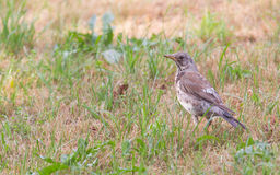 Young song thrush (Turdus philomelos). In the grass royalty free stock photos