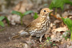 Young song thrush Stock Photography