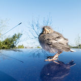 Young songbird. A young songbird stands on a blue Car Roof Stock Photography