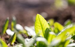 Young sorrel in the garden on the nature.  Royalty Free Stock Photos