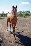 Young sorrel horse trotting in paddock. On summer day stock images