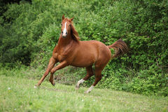 Young sorrel solid paint horse running. In front of green background Stock Images