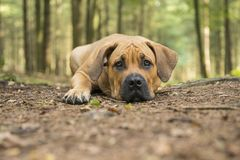 Young south african mastiff dog lying down in a forest lane with Royalty Free Stock Photography