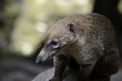 Young South American Coati stock photos