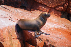 Young South American sea lion in Ballestas islands Reserve in Pe Stock Photography