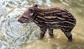 young south american tapir Royalty Free Stock Images
