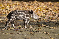 Young South American tapir, Tapirus terrestris Royalty Free Stock Photography
