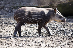 Young South American tapir, Tapirus terrestris Stock Photos