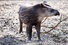 Young South American tapir, Tapirus terrestris Royalty Free Stock Photos