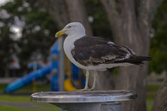 Young Southern Black-Backed Gull. A young (it doesn't yet have its adult plumage) Southern Black-Backed Gull sits an a rubbish bin Royalty Free Stock Photo