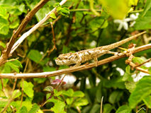 Young Southern Dwarf Chameleon Stock Photography